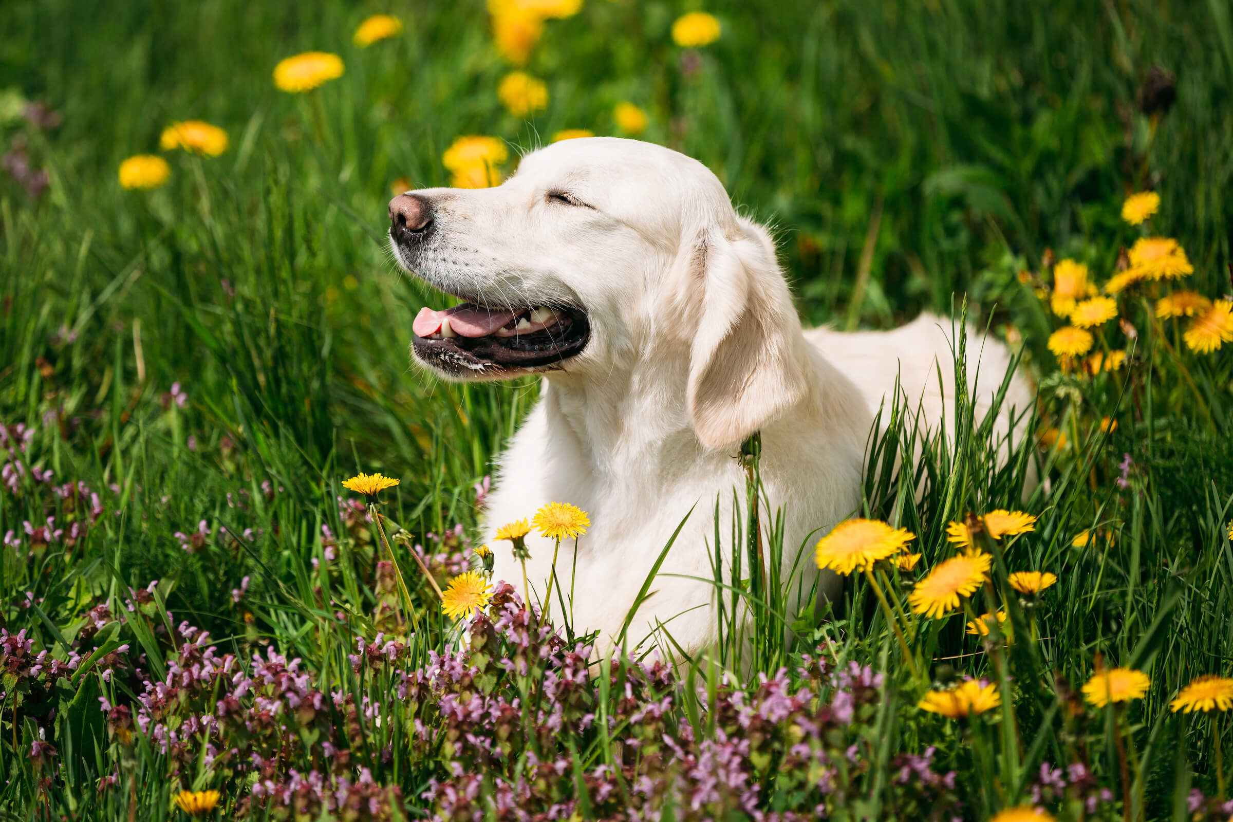 White Obedient Funny Young Happy Labrador Retriever Sitting In Grass And In Yellow Dandelions Outdoor. Spring Season.